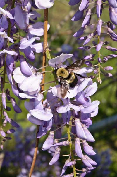 10-5-10-wisteria6