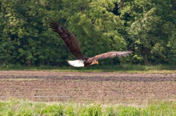 10-5-17-eagle2