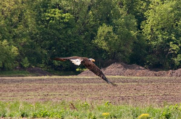 10-5-17-eagle3