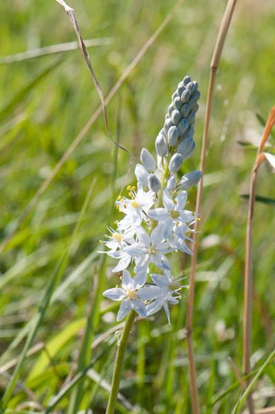 10-5-18-hyacinth