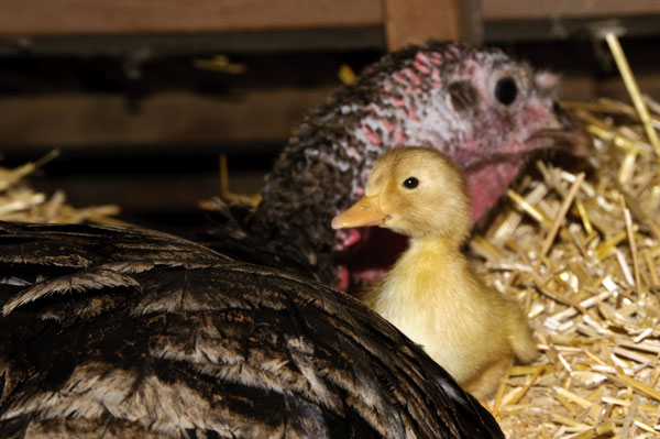 10-5-26-duckling3