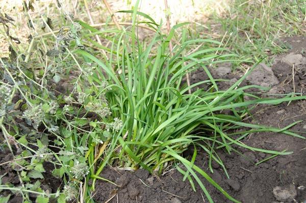10-8-7-garlicch