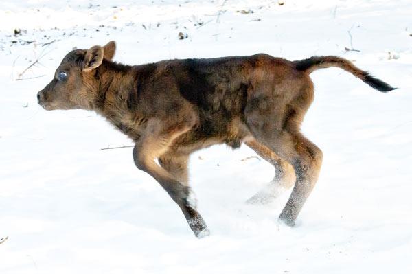 Baby jersey calf running