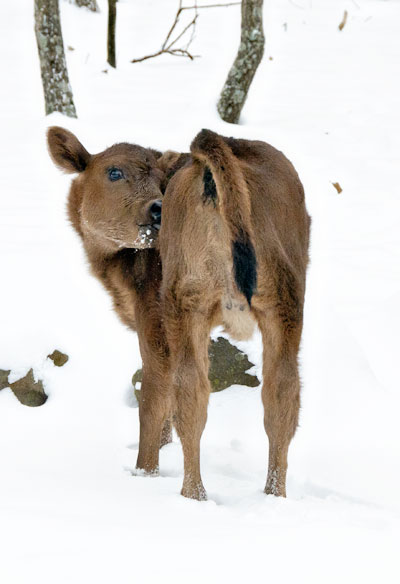 jersey calf scratching
