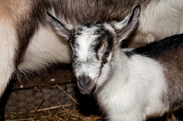newborn American Alpine kid